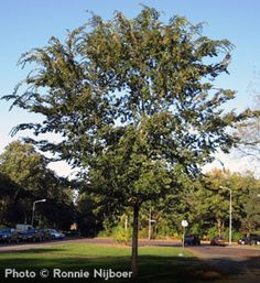 Buy affordable Lacebark Elm trees at arborday.org   For our backyard