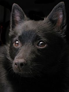 The Schipperke is a small, squarely-built shepherd, believed to have the same ancestors as the Belgian sheepdog, which was thought to be a smallish dog called a Leauvenaar. One may trace the history of the Schipperke back to the 17th century, at which point they were used to herd, guard, and hunt vermin. This is a happy, agile, intelligent companion dog, very trainable and loyal.