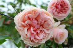 'Elie Beauvillain' Tea-Noisette Rose - Bred by Beauvillain (France, 1887).