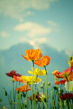 Daddy name that movie: Poppies. Poppies will makes them sleep. Wild Flowers, Beautiful Flowers, Spring Flowers, Poppy Flowers, Colorful Roses, Jolie Photo, Plantation, Pretty Pictures, Beautiful World