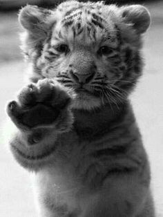 tiger-cub-hello.jpg 360×480 pixels - Cat as a baby.  No wonder Caros couldn't leave him behind when he gained his freedom.
