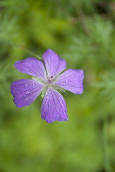Kurjenpolvet – kukkivat maanpeittäjät - Viherlandia