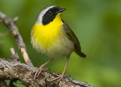 Common Yellowthroat, Identification, All About Birds - Cornell Lab of Ornithology