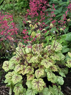"New Shade-Loving Perennial Variety for 2013 - 'Circus' Coralbells or Heuchera... In the  spring, it has peach-color leaves with deep red veins. In summer, the red veins remain but leaves slowly turn chartreuse with highlights of silver, shooting up reddish-purple stems bearing small, bright pink bell-shape flowers. Grow in shade or part shade in well-drained soil - For Zones 4-9. Grows 14""T & W - Good with Hostas.  [via bhg.com]"