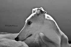 Black And White Sunday 1/25 - Profile Of A Greyhound - Tales and Tails