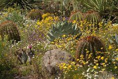 Arizona Wildflowers- what the yard SHOULD look like!