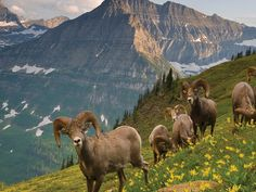 Big horn sheep in Glacier National Park, Montana  Photograph courtesy Montana Office of Tourism