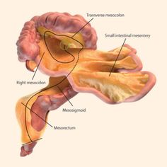 The mesentery was previously thought to consist of fragmented structures
