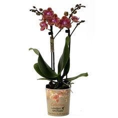 Little kolibri orchid 2tak russia