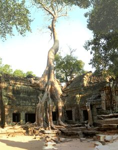 Ta Prohm/Location: Angkor Cambodia/Asia  Bayon styled temple built late 12th century by King Jayavarman VII for his family.  The large trees are called silk cottonwood.