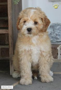Shipoo Puppy for Sale