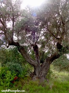 5500 euros. 1 ha. Ancient olive trees?