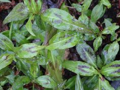 Vietnamese coriander. Hortelã vietnamita. Persicaria odorata