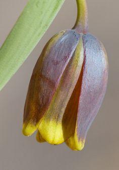Fritillaria Uva-vulpis | Flickr - Photo Sharing!
