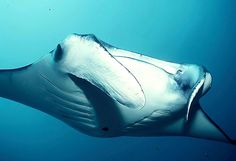 Manta rays are listed as Vulnerable on the IUCN Red List, but only a listing on CITES will afford them protection from international trade. Your voice and the success of our CITES shark petition allow Project AWARE's policy team to make profound arguments for change at critical events such at the IUCN World Conservation Congress. Thank you for supporting our work! #mantaray