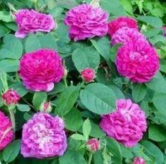 роза де рехт фото