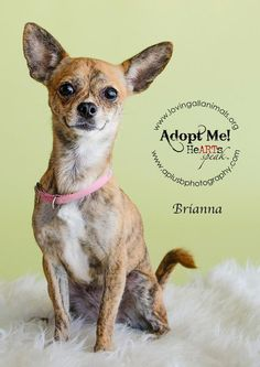 Brianna~ Chihuahua • Young • Female • Small Loving All Animals, Inc. Palm Desert, CA