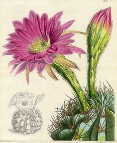Cactus - Echinopsis cristata v. Purpurea, Bolivia. 1850s.