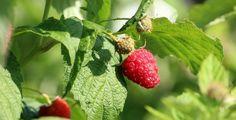 Raspberry Plants, Soil Ph, Vegetable Garden, Berries, Easy, Brewery, Strawberry, Canning, Fruit