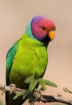 Plum-headed Parakeet - ©/cc H. Satish Photography  http://www.hsatish.com/?gallery=birds-2