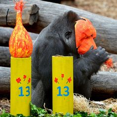 Yakini the gorilla has celebrated a milestone birthday at the Werribee Open Range Zoo in Melbourne, Australia. The 150kg gorilla marked becoming a teenager with special treats such as dried mango and papaya in his new bachelor pad.  Picture: Newspix / Rex Features