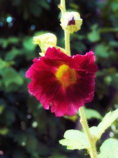 Stockrose, Blüte