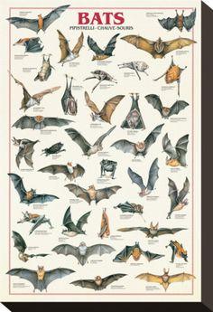 Types of Bats Chiroptera Animal Education Poster – BananaRoad poster Bats Chiroptera Animal Education Poster Murcielago Animal, Animals And Pets, Cute Animals, Fauna, Beautiful Creatures, Animal Kingdom, Pet Birds, Mammals, Wildlife