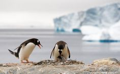 Petermann Island, Antarctica. Gentoo penguin home with a nice view