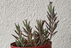 Kalanchoe tubiflora Plants, Plant, Planets