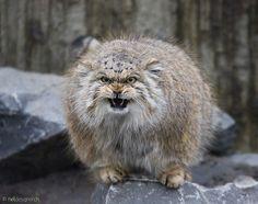 Pallas also Manul, beautiful animal ~