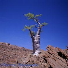 Desert tree.  Namibia. may be Moringo Tree (Moringa ovalifolia)