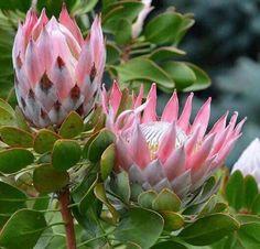 Proteas Rare Flowers, Flowers Nature, Exotic Flowers, Amazing Flowers, Pink Flowers, Protea Art, Protea Flower, Australian Native Garden, Beautiful Flower Arrangements