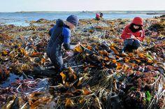 """<p>Des agents du Parc naturel marin d'Iroise effectuant un suivi sur les champs d'algues à Molène dans le cadre du programme """"Ecokelp""""</p> <cite>© Yves Gladu / Agence des aires marines protégées</cite>  Des agents du Parc naturel marin d'Iroise effectuant un suivi sur les champs d'algues à Molène dans le cadre du programme """"Ecokelp"""""""