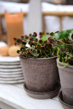 Trifolium 'Estelle' med rött i. Flowers Nature, Fresh Flowers, Green Plants, Potted Plants, Indoor Flowers, My Secret Garden, Cactus, Outdoor Plants, Container Plants