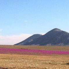 El desierto florido un fenómeno que se produce en los raros años en que llueve en el desierto más árido del planeta Atacama y que he tenido la suerte de contemplar. Más de 200 variedades de flores forman un manto floral impresionante! #VIS_Chile