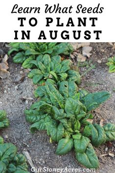 Easy Backyard Garden Here are 9 crops you can plant in August for Fall and winter harvesting. Get these 9 seeds planting now for a great harvest well into the fall and winter months. Gardening For Beginners, Gardening Tips, Flower Gardening, Gardening Gloves, Gardening Services, Hydroponic Gardening, Indoor Gardening, Permaculture, Gardens
