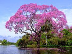 Pohon Piuva yang Indah dan Berkhasiat | Pos Hari Ini