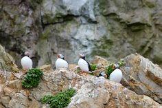 Atlantic Puffins on Bear Island Silversea Cruises, Bear Island, Arctic, Explore, Travel, Animals, Viajes, Animales, Animaux