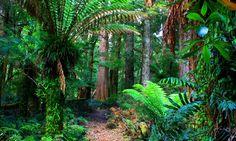 Old Growth Trees in Lake Chisholm Forest Reserve, Tarkine Wilderness, #Tasmania #Australia More: http://southernson.com/tasmania/tarkine-wilderness/index.html | The Tarkine Wilderness is threatened. Protest on Pinterest: pinterest.com/tarkine #SaveTarkine