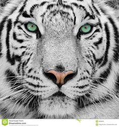White Tiger - Download From Over 37 Million High Quality Stock Photos, Images, Vectors. Sign up for FREE today. Image: 9008802