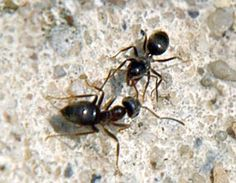 Get rid of ants using cloves, cinnamon, cloves, bay leaves + chili powder all effectively. Ants In House, Ant Problem, Home Helpers, Black Ants, Get Rid Of Ants, Natural Pesticides, Homemade Cleaning Products, Weed Killer, Natural Home Remedies