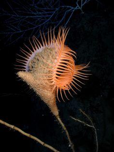 """Venus atrapamoscas, anémona de mar.. Esta anémona de mar lleva el nombre de Venus atrapamoscas debido a la forma similar que tiene con la planta y a que se alimenta atrapando alimentos en su """"boca""""."""
