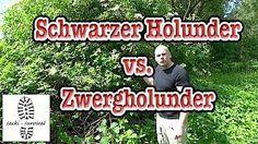 Schwarzer Holunder & Zwergholunder