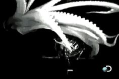 The Japanese team that captured this footage, of a comparatively tiny 3 meter giant squid (the largest ever caught was 18 meters!), did it by fitting their submersible with lights that were invisible to both squid and human eyes. Those wavelengths were captured by the camera, though … and the results are stunning. / via @Jen Lowe