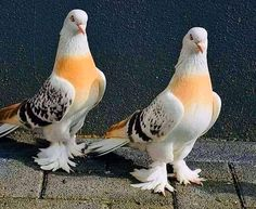Pigeon Pictures, Wild Animals Pictures, Like Animals, Bird Pictures, Cute Baby Animals, Animals And Pets, Unusual Animals, Cute Pigeon, Pigeon Bird