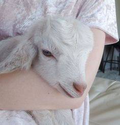 """creamy-dreams: """" 1 day old baby goat This precious dear is the offspring of a nanny goat owned by the wife of a man who works for my father """" Farm Animals, Cute Animals, Cute Goats, Amor Animal, Baby Goats, Beautiful Creatures, Fur Babies, Lamb, Linseed Oil"""