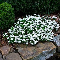 Evergreen candytuft  This evergreen subshrub slowly spreads to form a tidy cushion of shiny dark green leaves. In late spring and early summer, numerous flattened clusters of 4-petaled snow-white flowers nearly cover the foliage. Iberis sempervirens makes an effective edging for a sunny border.