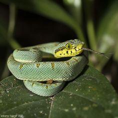 """""""juvenil""""  Algumas espécies de jararacas, quando jovens, utilizam a ponta da cauda como isca para atrair potenciais presas (anfíbios, aves, etc). Esse comportamento é conhecido como """"engodo caudal"""" e, associado ao padrão de cores crípticas (camuflagem) e a toxina poderosa que pode ser inoculada na presa, faz com que esses animais sejam predadores excepcionais desde """"pequenos"""". Espécie modelo: Bothrops bilineatus (Wied-Neuwied, 1821)  Fotografada na ESEC de Murici, Alagoas, nordeste do Brasil…"""