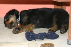 The first night we brought our 6 week old puppy home.  We named him Rommel.