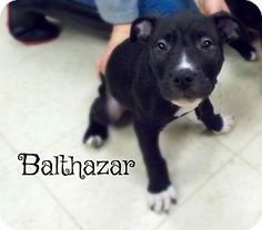 Defiance, OH - Pit Bull Terrier/Labrador Retriever Mix. Meet Balthazar, a dog for adoption. http://www.adoptapet.com/pet/17211718-defiance-ohio-pit-bull-terrier-mix